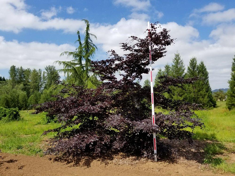 Fagus syl. 'Tortuosa purpurea'