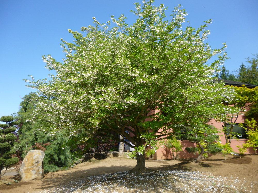 Styrax japonica Specimen