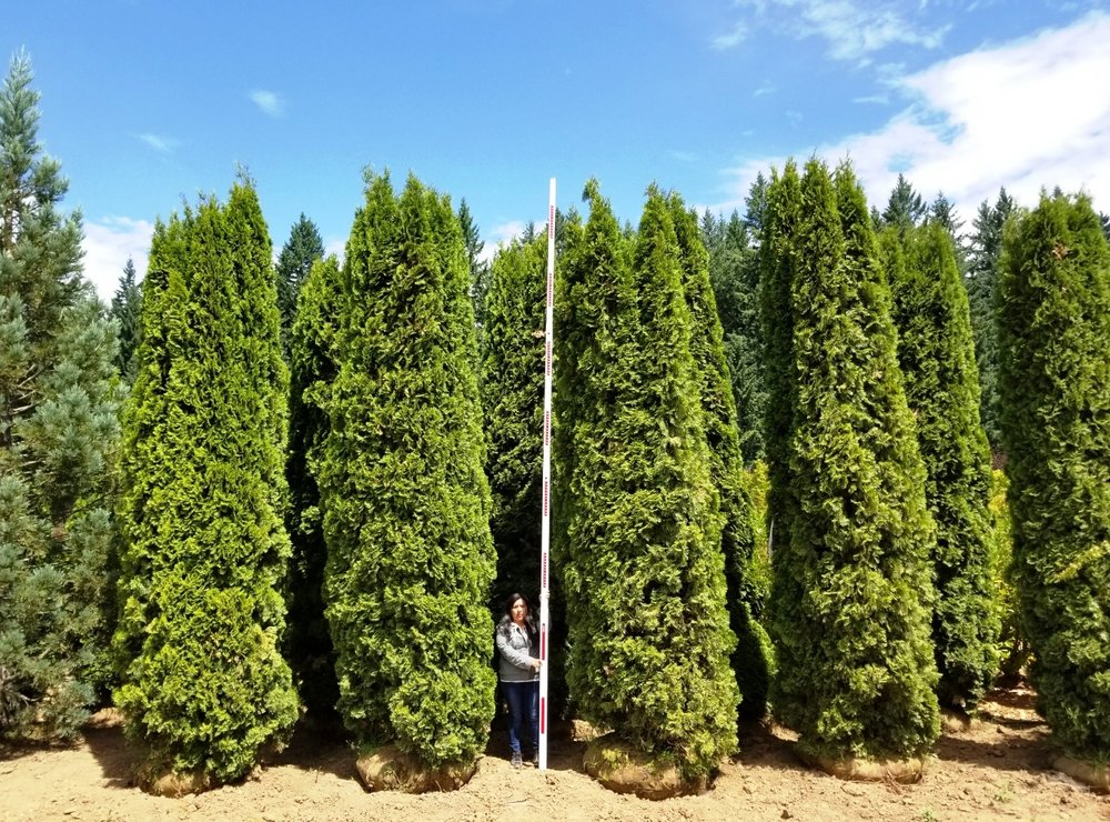 Thuja Emerald Green Specimens- 14-16ft.jpg