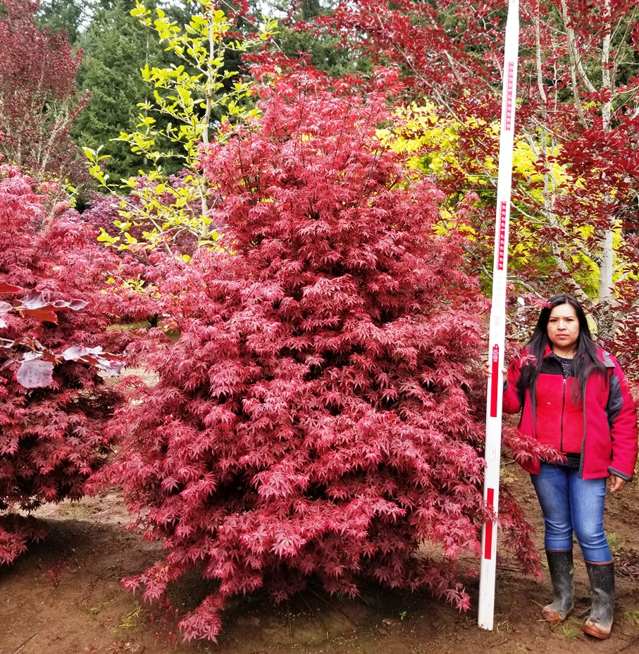 Acer p. 'Skeeters Broom' 8ft