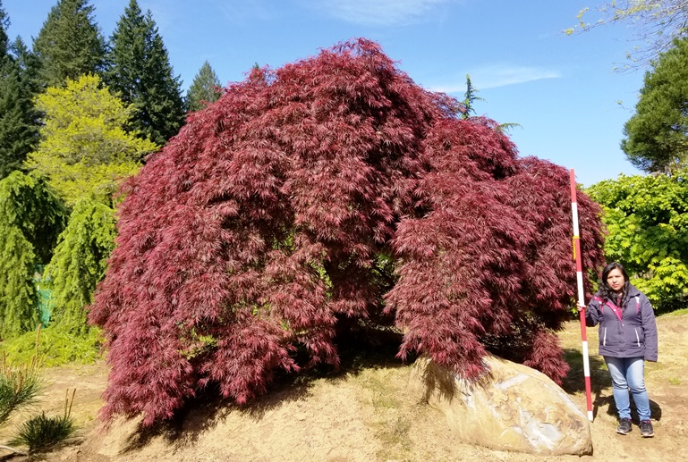 Acer pd. 'Ornatum' Specimen