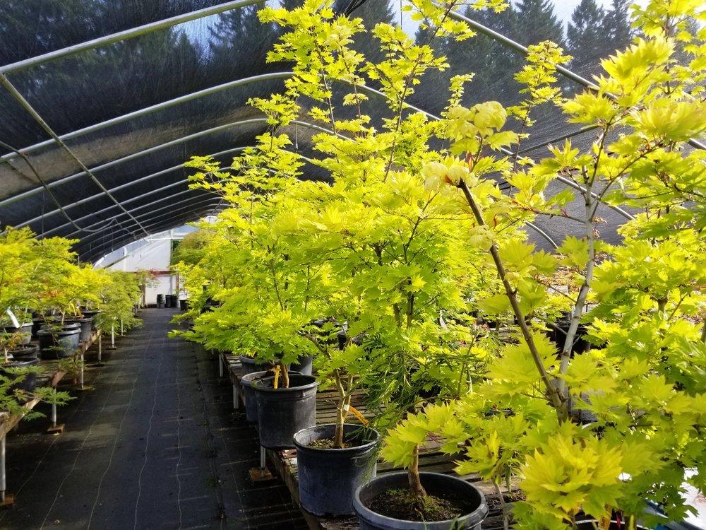 Acer shir. 'Aureum'