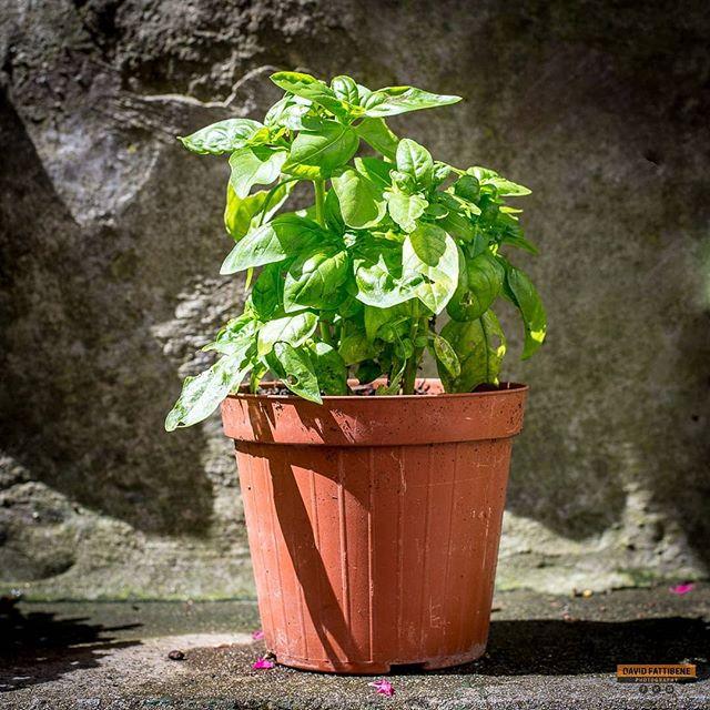 Basilico's Pot