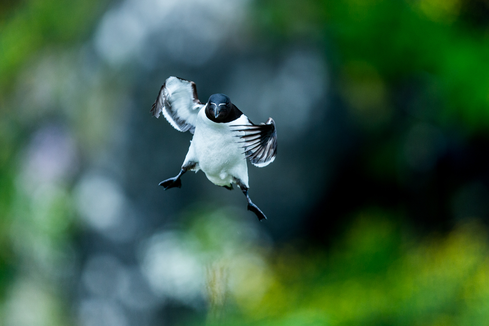 Pingouin torda - Ile de lunga - Ecosse