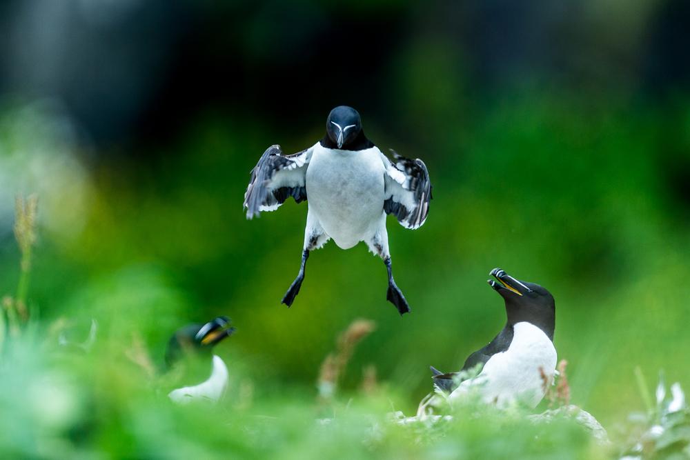 Pingouins torda - Ile de lunga - Ecosse