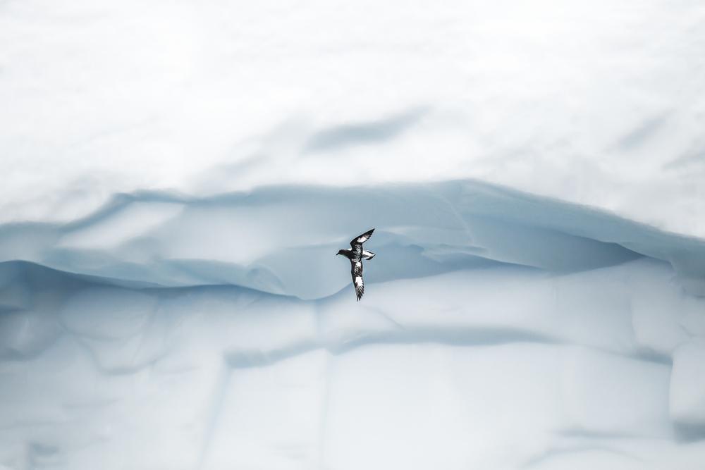 Damier du cap, iceberg - Géorgie du sud