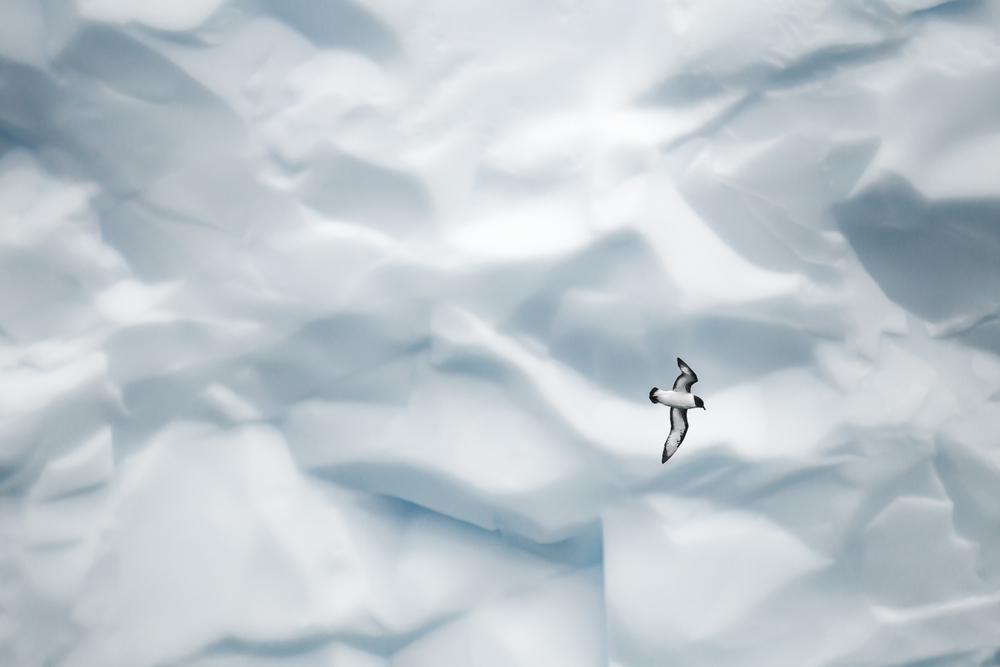 Damier du cap, icebergs vol 2 - Géorgie du sud