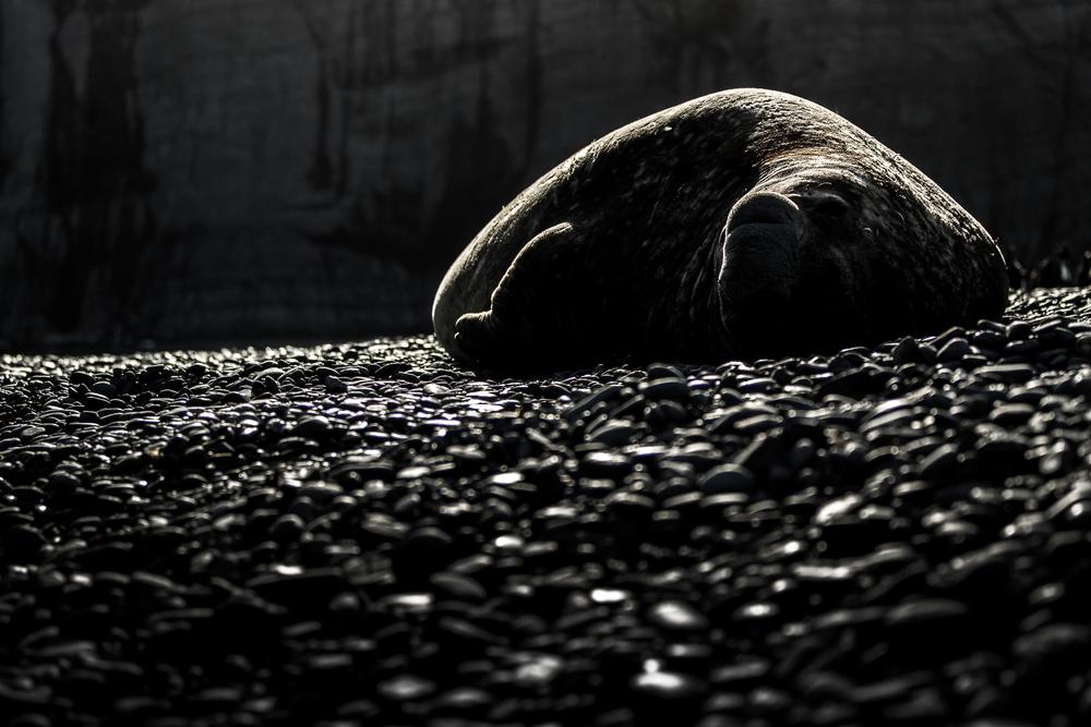 Eléphant de mer en fin de journée - Géorgie du sud