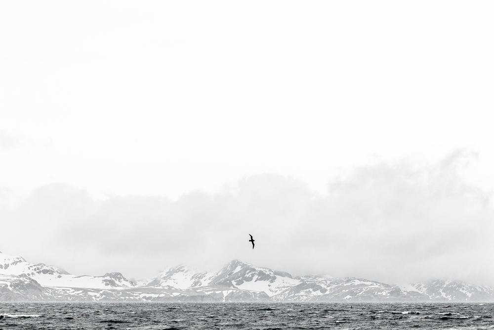 Vol d'Albatros - Géorgie du Sud