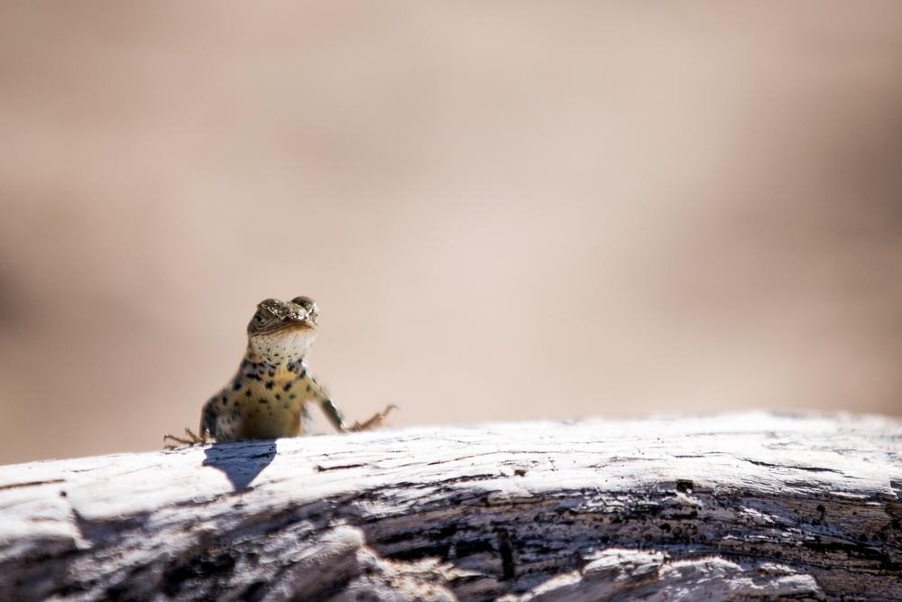 Gecko - Iles des Galapagos - Equateur