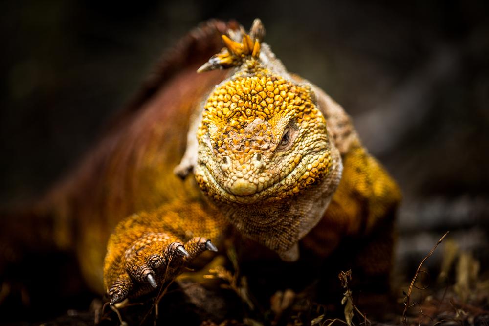 Iguane terrestre - Iles des Galapagos - Equateur