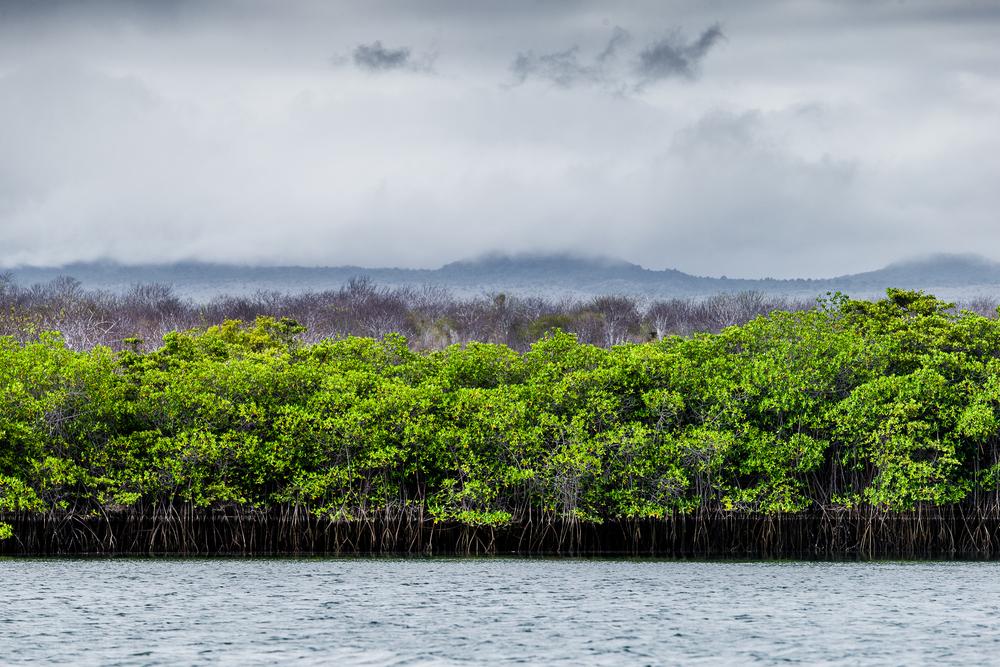 Mangrove - Iles des Galapagos - Equateur