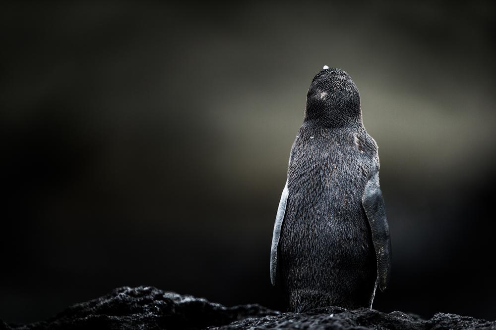 Manchot des Galápagos - Iles des Galapagos - Equateur