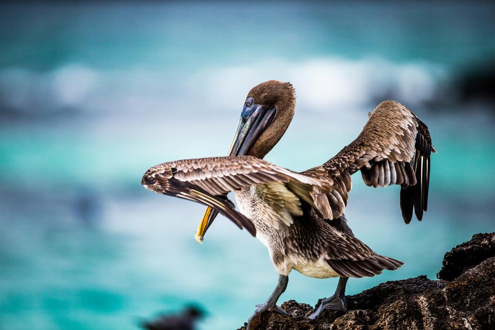 Pélican - Iles des Galapagos - Equateur