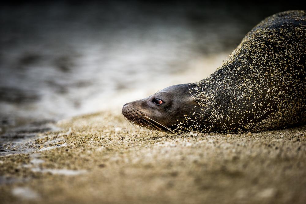 Otarie - Iles des Galapagos - Equateur