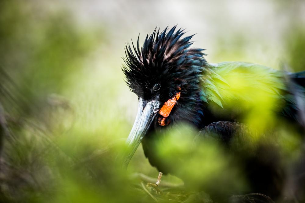 Jeune Frégate du Pacifique - Iles des Galapagos - Equateur