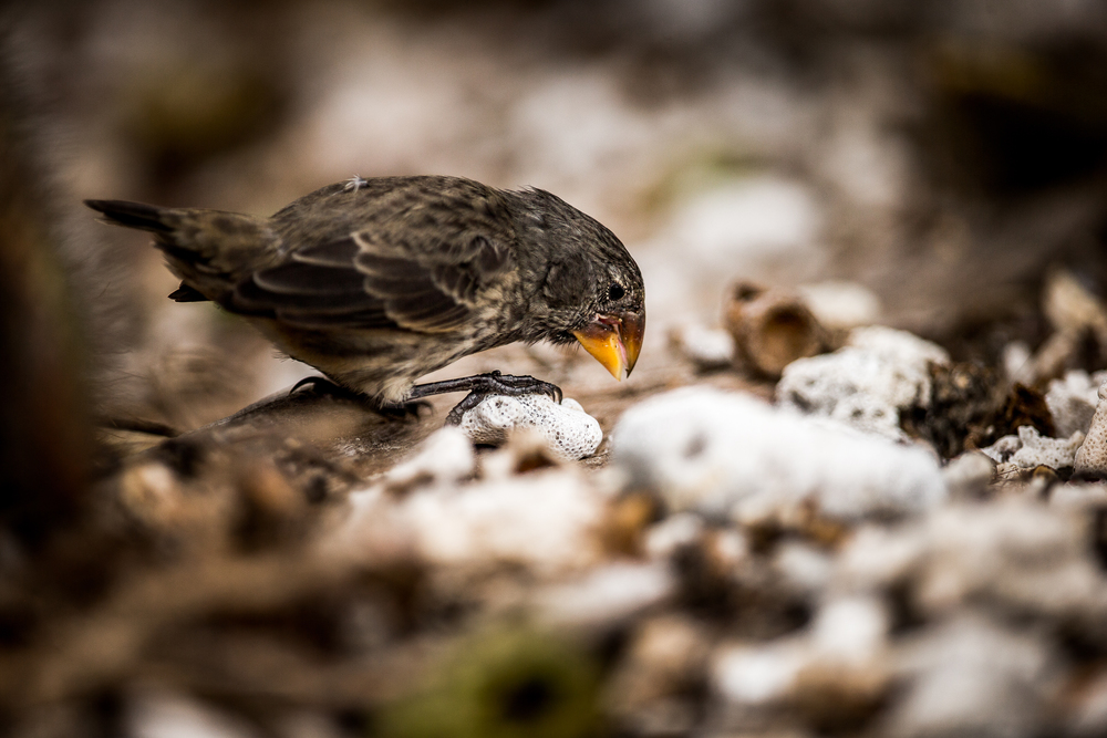 Pinson de Darwin - Iles des galapagos - Equateur