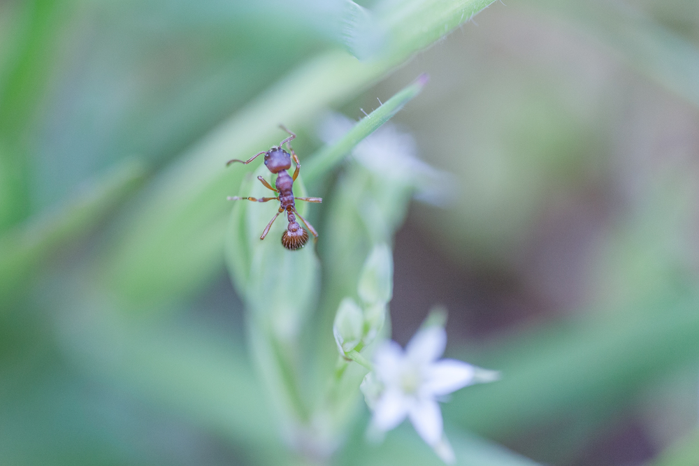 La fourmi - Normandie sauvage