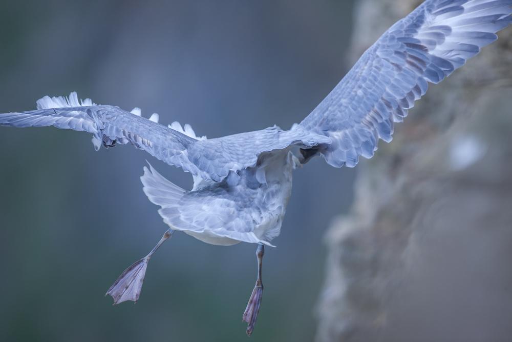 Vol fulmar boréal - Normandie sauvage