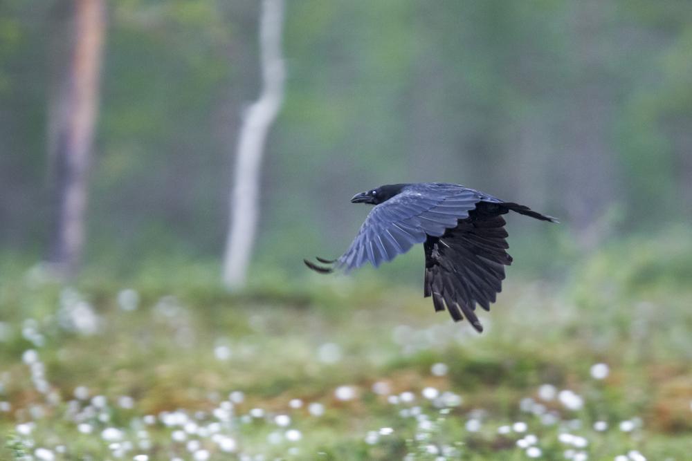 stephaneleroy_wild_finland-11.jpg