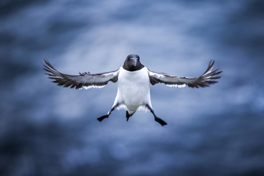 Pingouin torda - Ecosse, oiseaux de mer