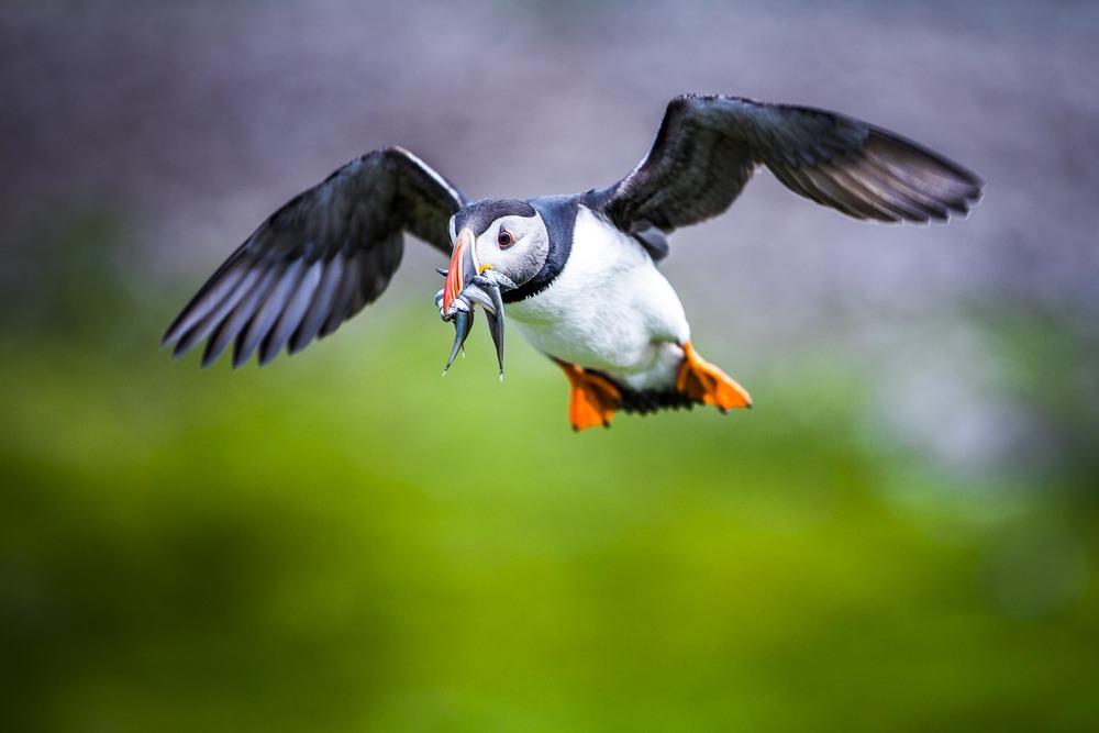 Macareux moine - Ecosse, oiseaux de mer