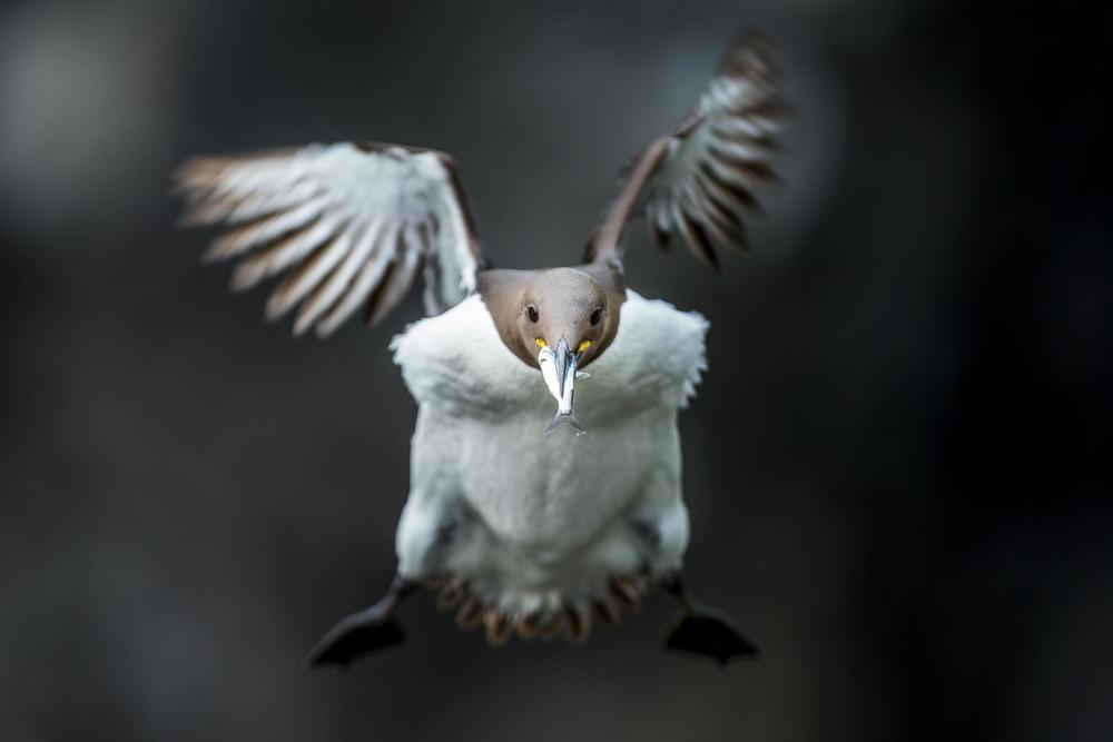 Guillemot de Troïl, ile de lunga Ecosse - oiseaux de mer