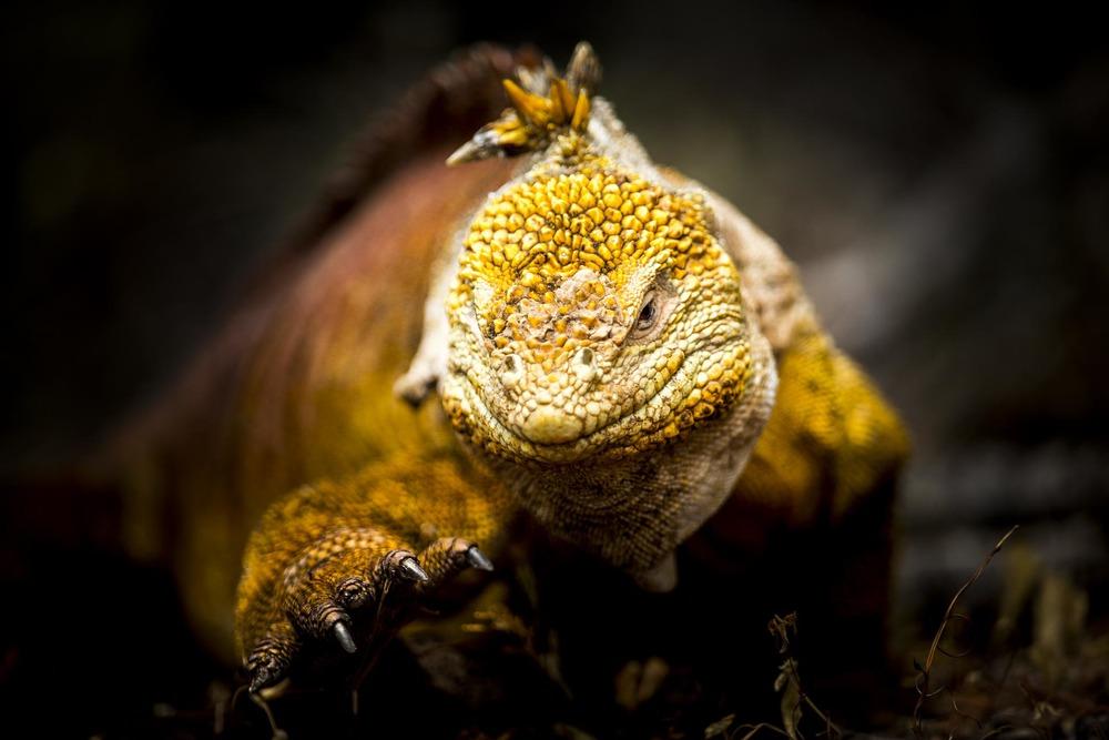 Iguane terrestre - Ile des Galapagos