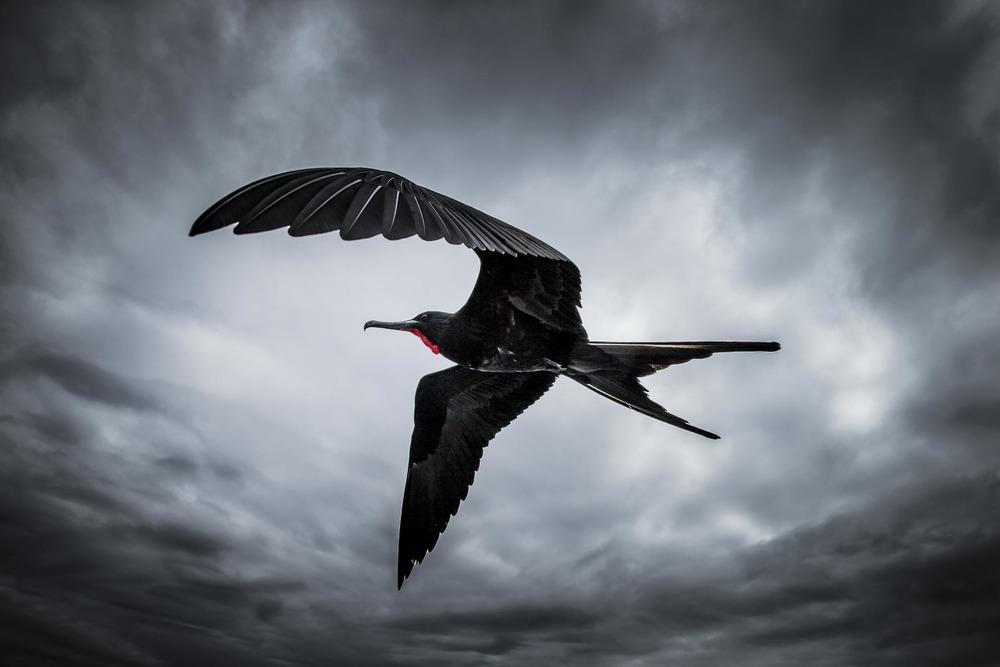 Frégate du pacifique - Ile des Galapagos