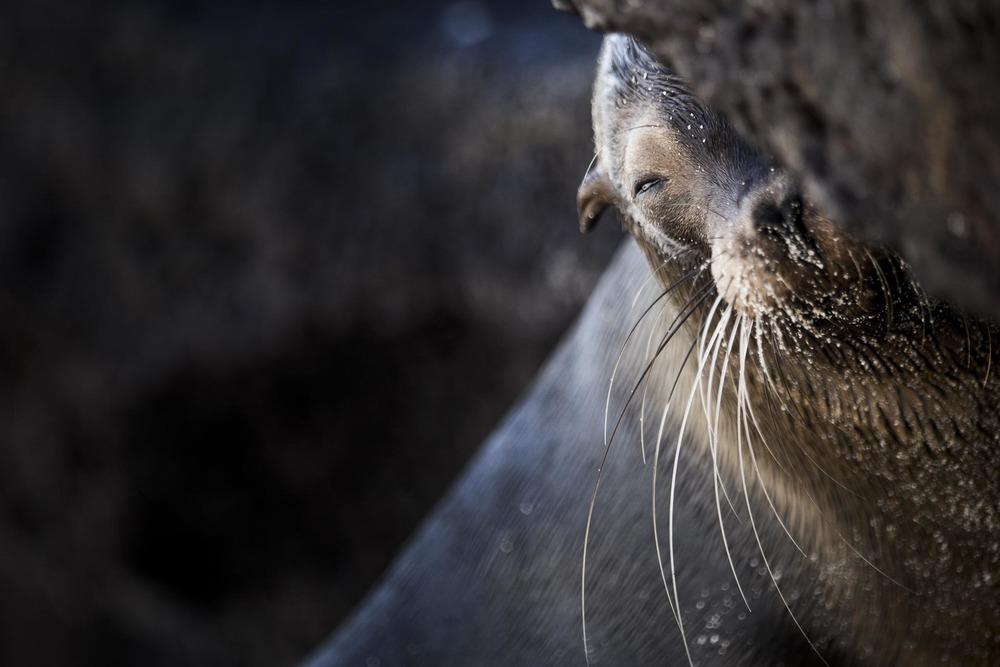 Otarie des Galápagos - Ile des Galapagos