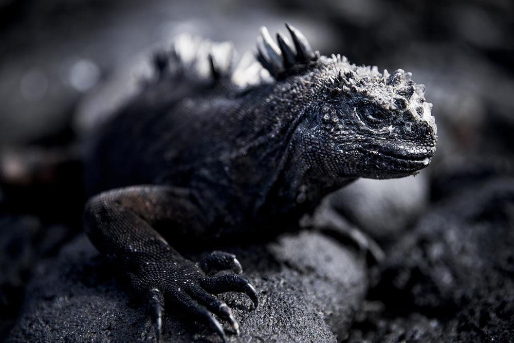 Iguane marin - Ile des Galapagos