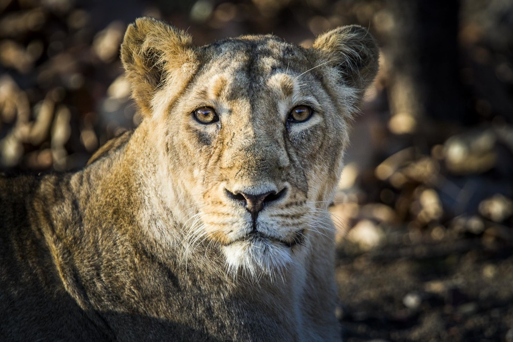 Lion d'Asie - Inde