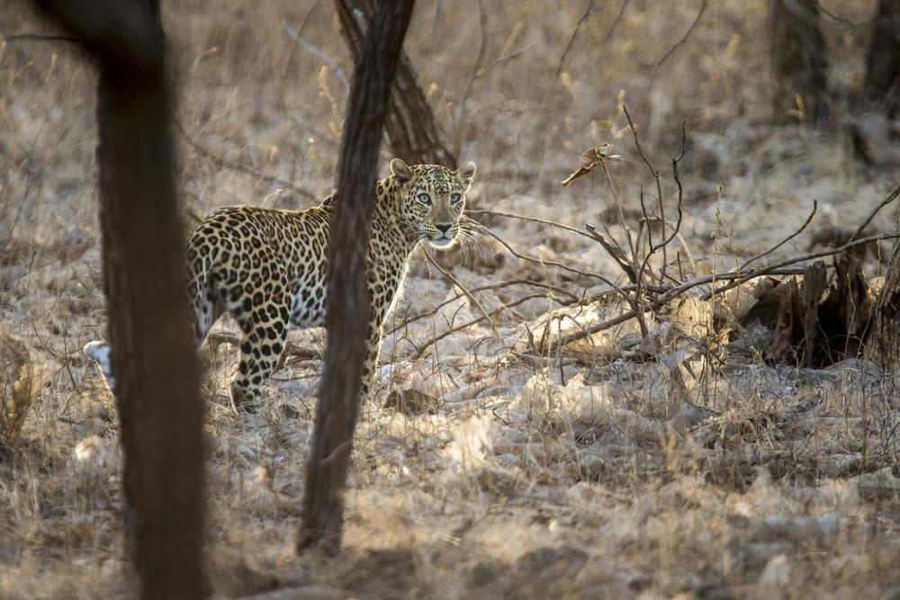 Léopard d'Asie - Inde