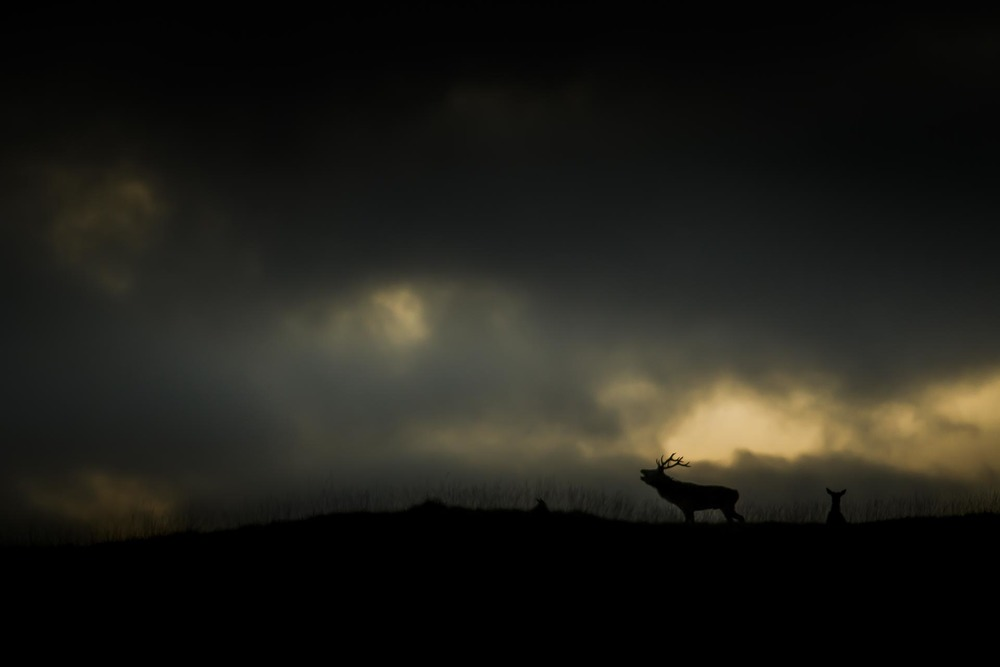 Brame du cerf - Ecosse