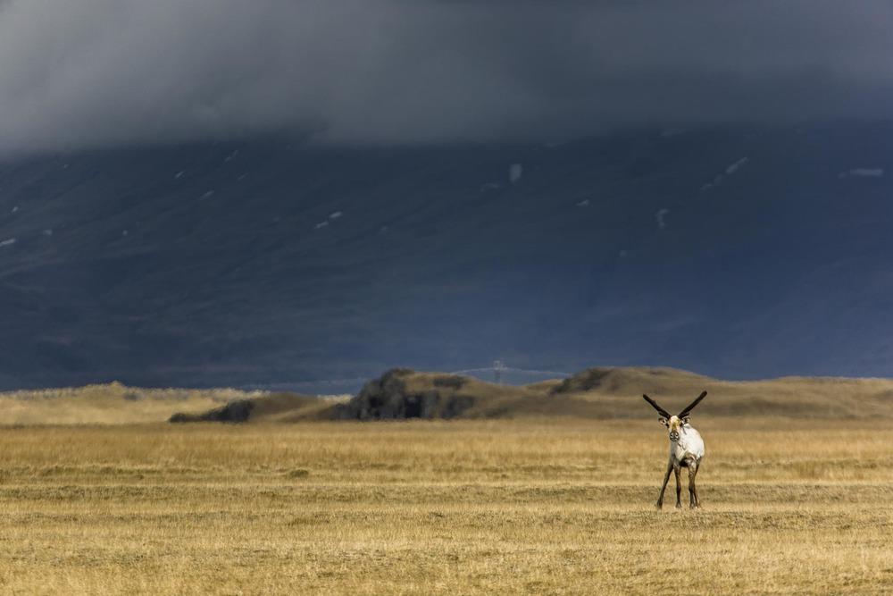 Renne - Islande