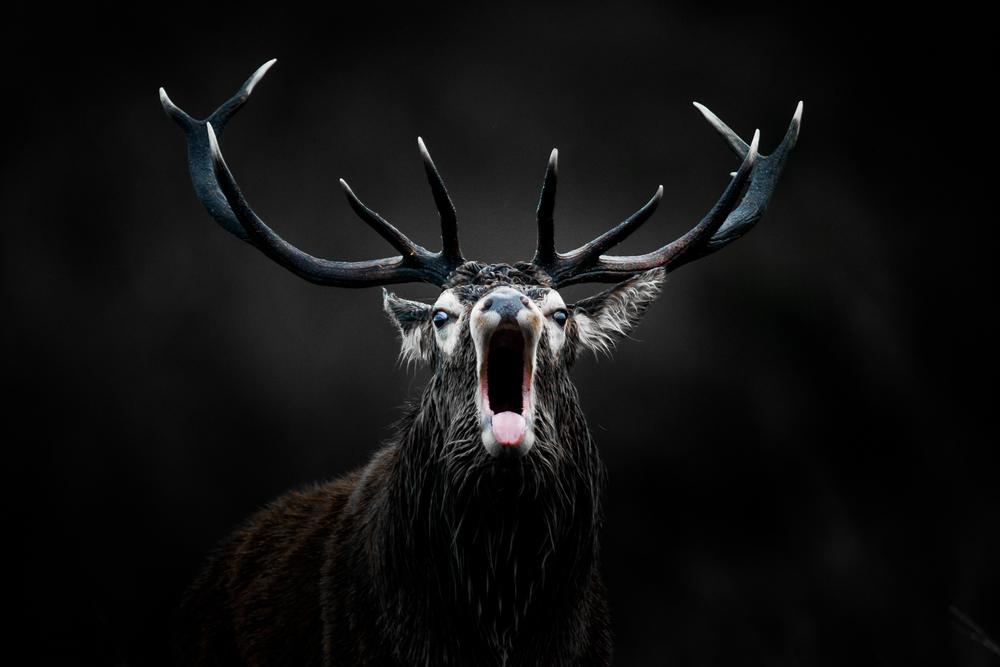 Photographie animalière Brame du cerf Ecosse