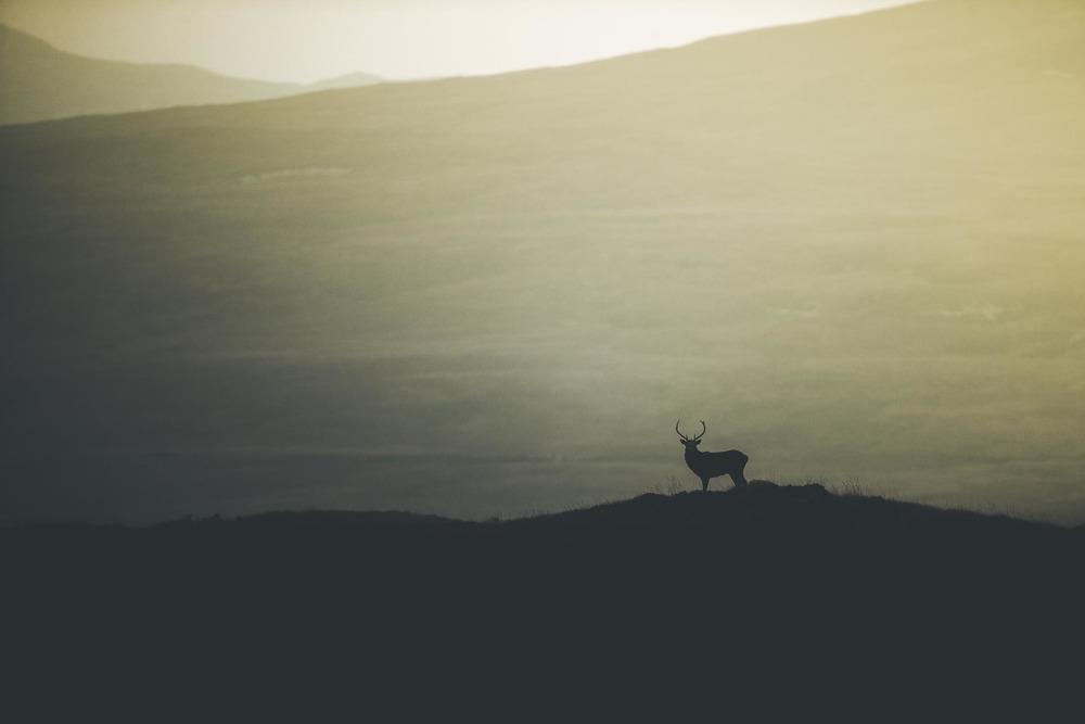 Brame du cerf Ile de Jura