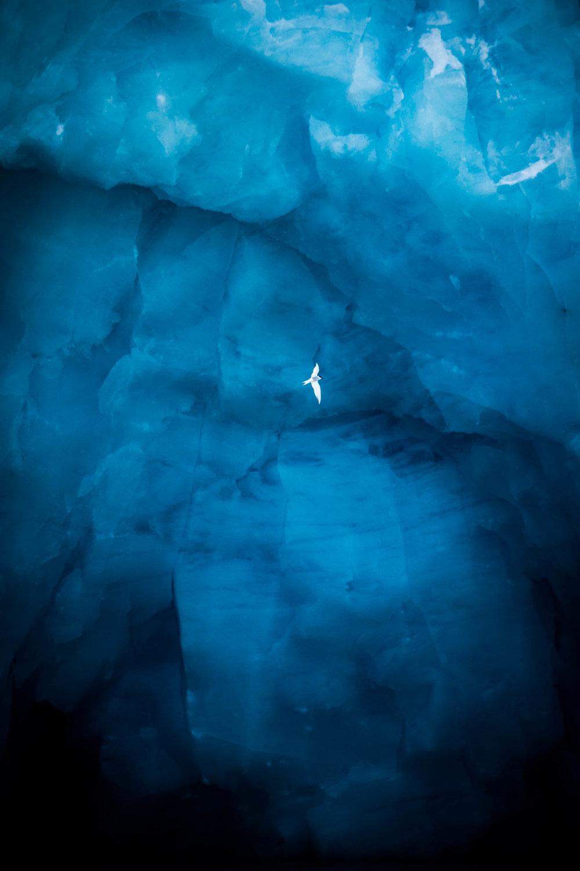 front de glacier, géorgie du sud, Sterna paradisaea, sterne arctique, vol // Arctic tern, flight, glacier front, south georgia, Sterna paradisaea
