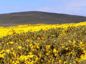 Gorgeous gorse on West Point Island, Falklands