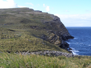 An enormous black-browed albatross colony