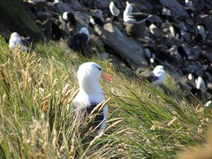 An imposing black-browed albatross