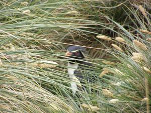 Rockhopper penguin, peeping through the tussock grass