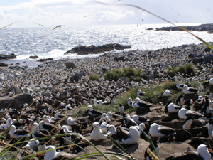 The largest black-browed albatross colony in the World!