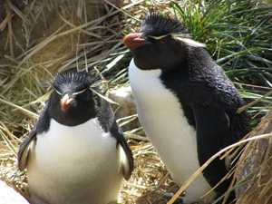 A pair of plump rockhopper penguins