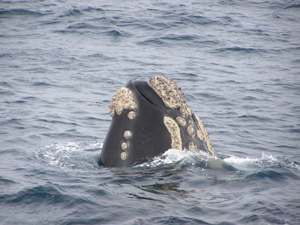 Southern right whale, covered in barnacles