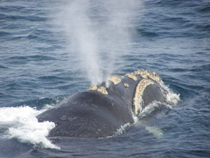 A Southern right whale in the Southern Ocean