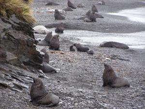 Cranky, territorial fur seals near Stromness