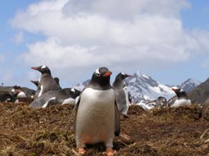 A curious gentoo penguin!
