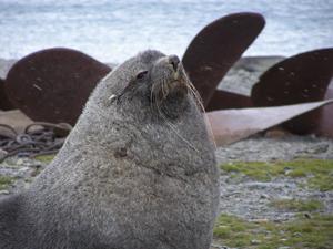 A fur seal with attitude, Stromness South Georgia