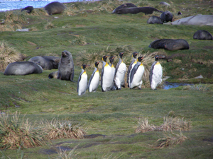 A gang of king penguins in Grytviken